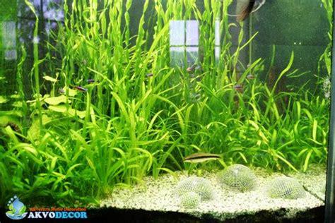 Jual Lu Aquascape Bandung jual tanaman cuba tanamanbaru