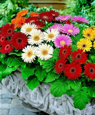 deskripsi tanaman gerbera bunga pernikahan