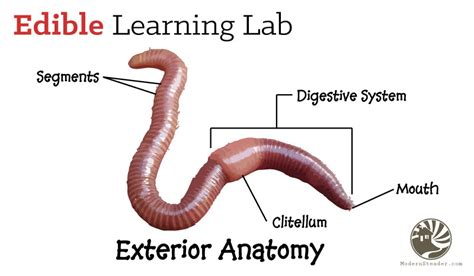 earthworm parts images anatomy of the wiggler worm