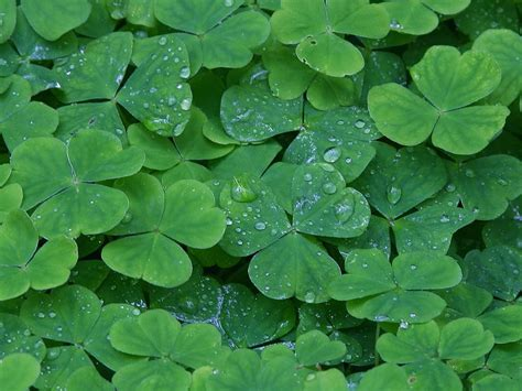the sicilian shamrock cultural fusions of the italian and irish