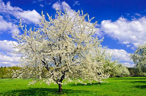 trees in germany apple tree in bloom in in germany photograph