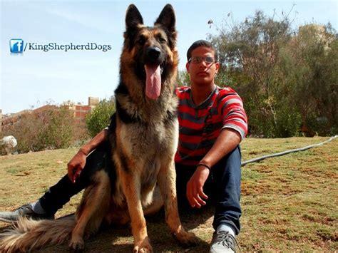 king shepherd puppies king shepherd king shepherds
