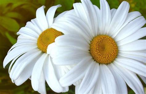 imagenes de flores margaritas margarita gigante flores ornamentales pinterest