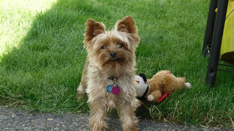 best food to feed a yorkie food yorkies 28 images top 5 best foods for yorkies 2017 buyer s guide best food