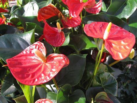 fiore anturium anthurium anthurium andraeanum piante appartamento