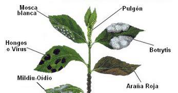 enfermedades de las plantas de interior plantas de regalo plagas que tienen las plantas de interior