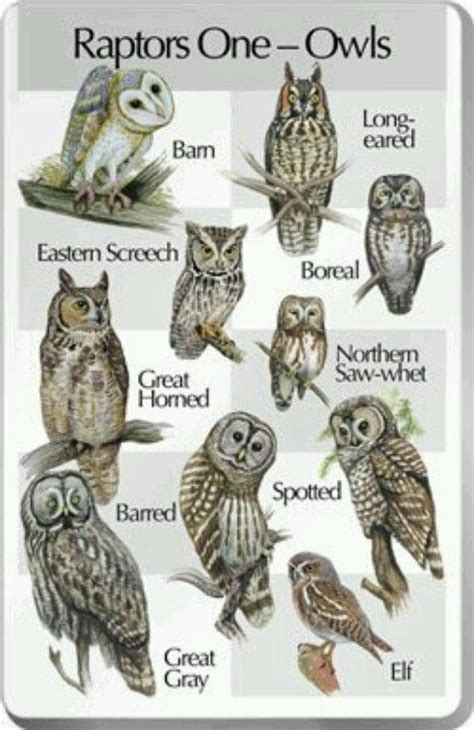 different types owls different types