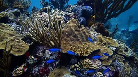 waffle house grenada ms watch american scientist works to save coral reefs the grenada star