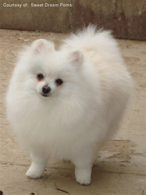 buy pomeranian pin find pomeranian puppies for sale and breeders at on