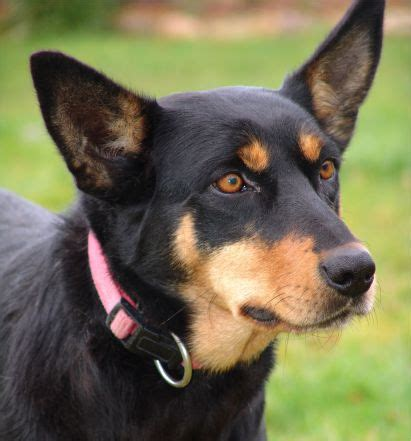 medium dogs medium breeds pictures to pin on pinsdaddy