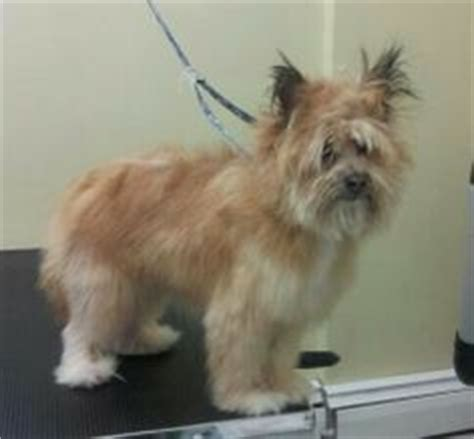 cairn terrier pomeranian mix after pomeranian cairn terrier mix grooming cairn terriers and
