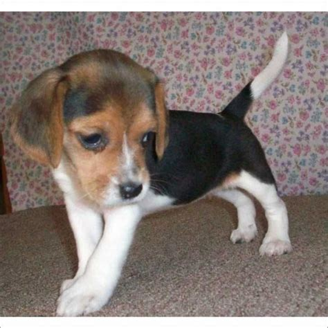 puppy for free pin by brook watson on doggies beagle puppies florida and puppys