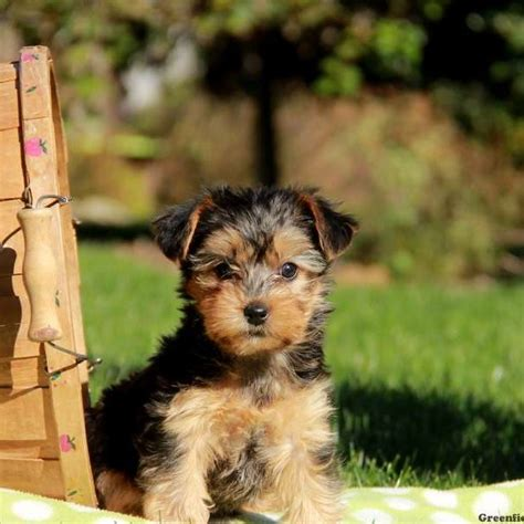 yorkie chon yorkie chon puppies for sale in pa breeds picture