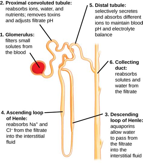 diagram of the nephron human osmoregulatory and excretory systems boundless biology
