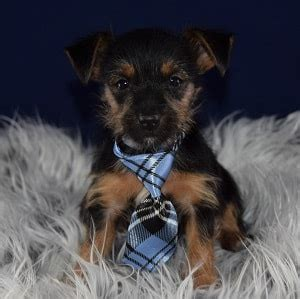 yorkies for sale pa yorkie puppy for sale price puppies for sale in pa md de