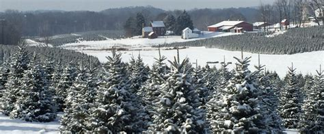 hubbards christmas tree farm homegrown frederick