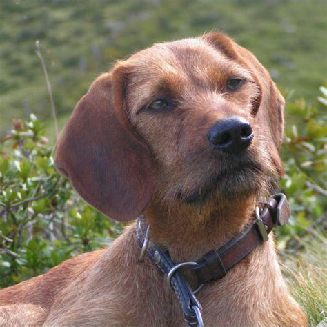 styrian coarse haired hound breed guide learn