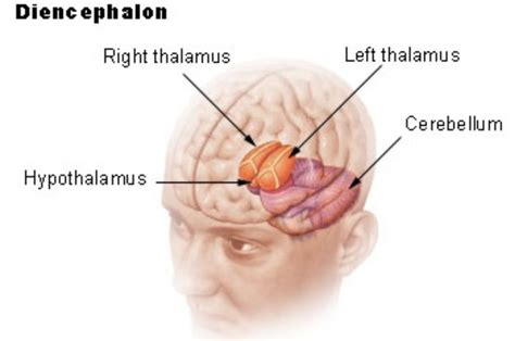 diagram of diencephalon the function of the diencephalon section of the brain