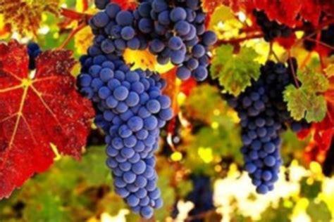 imagenes de uvas tintas temporada de vendimia en vi 241 a maquis