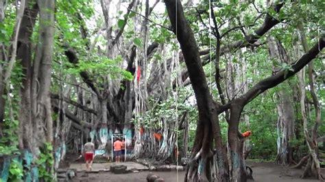 tree in banyan tree in asia sangamner maharastra