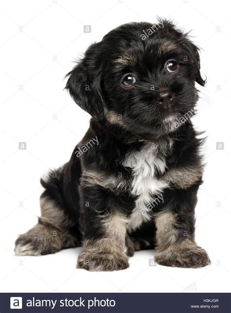 havanese black and black and havanese puppies www imgkid the image kid has it