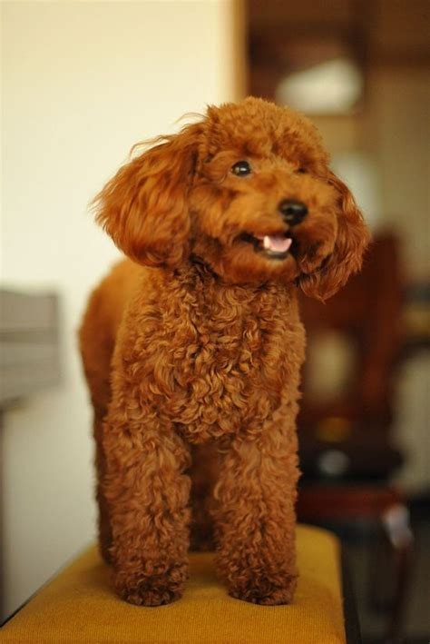 1000 images about doggy doos on pinterest poodles shih 1000 images about puppies on pinterest toy poodles