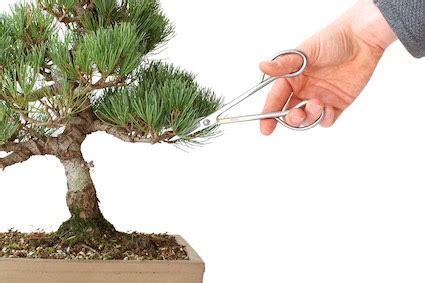 pruning bonsai cutting branches  shape  tree