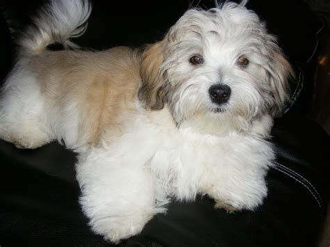 images of a havanese havanese puppies rescue pictures information temperament characteristics