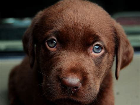 chocolate dogs puppy breeds picture