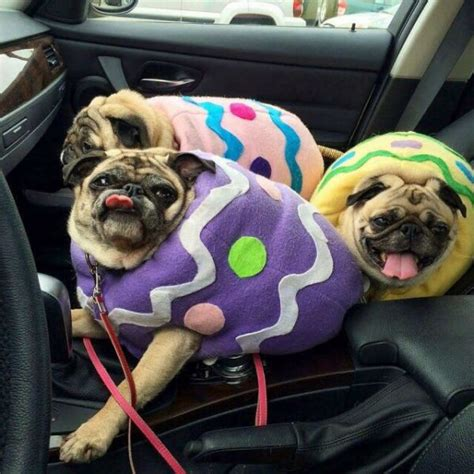 easter pug pictures these pugs look like easter eggs neatorama