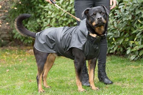 rottweiler coat walking the in the cold and