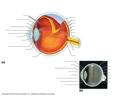 sagittal section of the eye game statistics sagittal section of eye purposegames