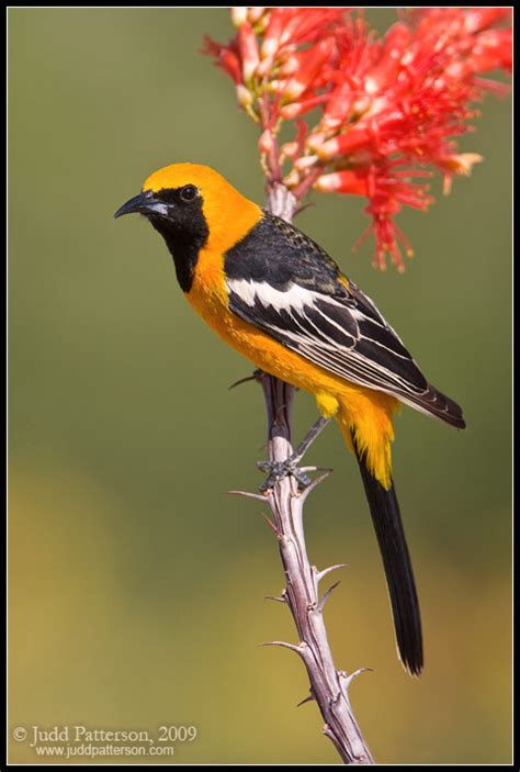 hooded oriole by juddpatterson on deviantart