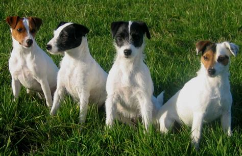 parson terrier puppies parson terrier breed parson terrier puppies breeds picture