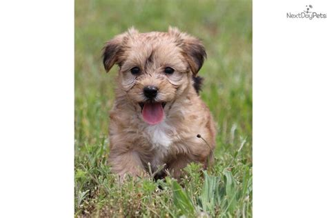 yorkie poo michigan yorkie poo puppies for sale in grand rapids michigan