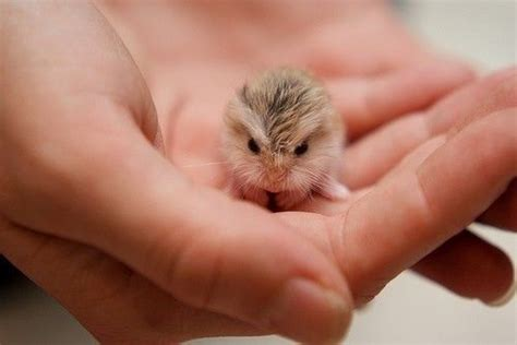 super small a tiny baby hamster cute animals pinterest baby