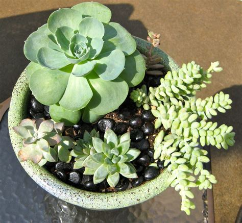 17 best images about succulents sedums on pinterest gardens propagating succulents and planters