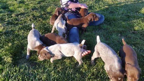 pudelpointer puppies for sale 2017 kota x ceaser gsp puppies 6 weeks german shorthaired pointers in emmett idaho