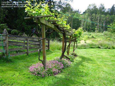 backyard trellis grape vine design idea and decorations