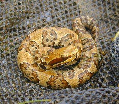 images of a water moccasin water moccasin photos best