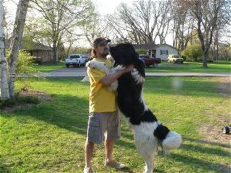 newfoundland puppies for sale in wi newfoundland puppies for sale
