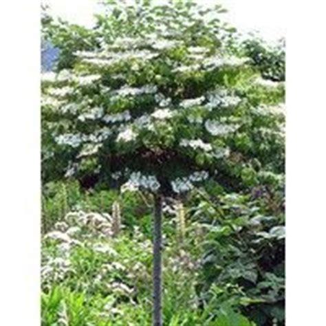 sternenzauber baum sternenzauber baum ziergeh 246 lze pflanzen