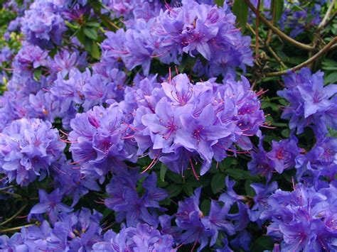 azalea bush colors purple rhododendron