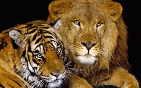 imagenes de leones juntos para perfil whatsapp fondo pantalla tigre y le 243 n