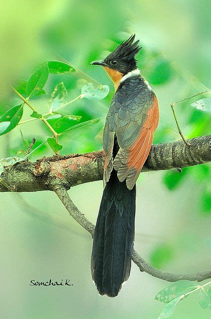 Mx Sq Feather 24 best cuckoo birds cuculidae passerine birds diderick squirrel chestnut raffles images