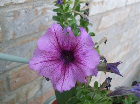 dealing with non blooming petunias how to make petunia bloom