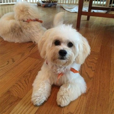grooming havanese puppy 25 best ideas about havanese grooming on havanese puppies small puppy