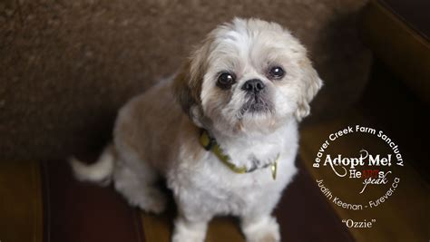 furever shih tzu adoptable shih tzu here s ozzie ready for furever home adopted oct 2014