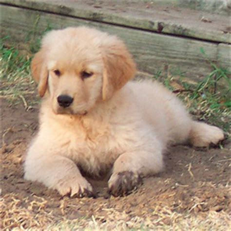 golden retriever breeders dallas tx golden retriever breeders puppies assistedlivingcares