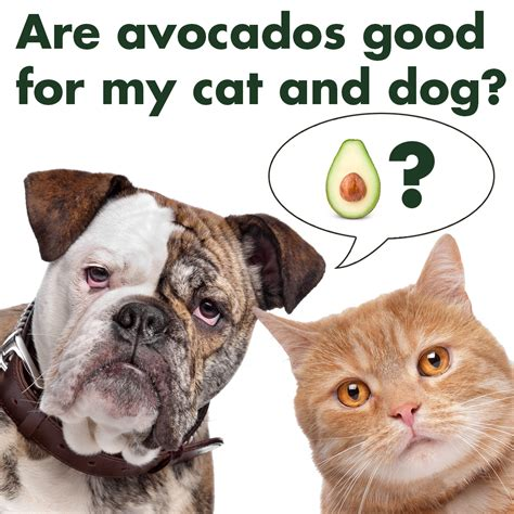 avocado and dogs cat and dog avocado avoseedo grow your own avocado tree